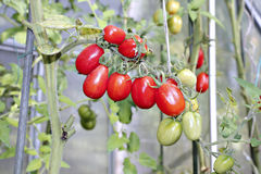 Bunch of oval red tomatoes Stock Image