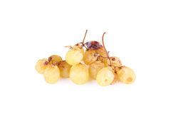 A bunch of overripe grapes isolated on white Royalty Free Stock Image