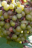 Bunch of overripe rotting white grape closeup.  Stock Image