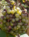 Bunch of overripe rotting white grape closeup.  Royalty Free Stock Image