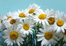Bunch of ox-eye-daisy flowers. On blue background stock photo