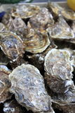 Bunch of Oysters Royalty Free Stock Photo
