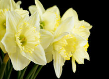 Bunch of pale yellow daffodils Royalty Free Stock Images