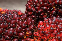 Bunch Of Palm Oil Seeds Stock Image