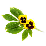 Bunch of pansies. Royalty Free Stock Photo