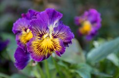 A Bunch Pansy Flowers In Bloom. On a Sunny Day stock images