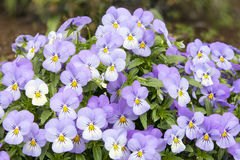 Bunch of Pansy Flowers Stock Photos
