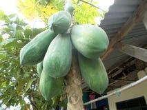 Bunch of Papaya fruits Stock Image