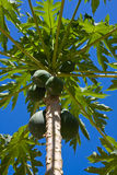 Bunch of papayas Stock Photography