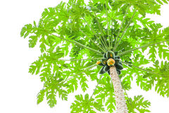 Bunch of papayas hanging from the tree. On white background Royalty Free Stock Photography