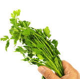 Bunch of parsley in hand Stock Photography