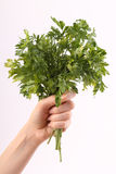 Bunch of parsley in hand Royalty Free Stock Photos