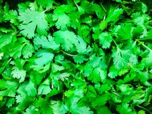 A bunch of Parsley. An up close view of the herb Parsley royalty free stock images