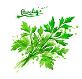 Bunch of parsley. Watercolor hand drawn illustration of a bunch of parsley with paint splashes stock illustration