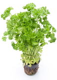 Bunch of parsley on a white. Stock Images