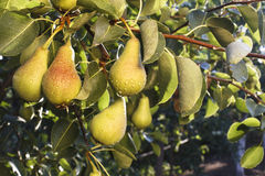 Bunch of Pears Royalty Free Stock Photo