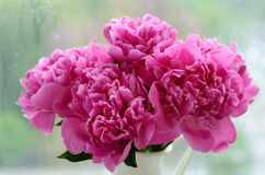 Bunch of peonies against rainy windows Stock Photo