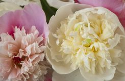 Bunch of peonies on pink background. stock image