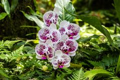 Phalaenopsis moth shaped orchids. White and purple petals; ferns and green leaves in background. Hilo, Hawaii. Bunch of phalaenopsis moth shaped orchids at stock photos