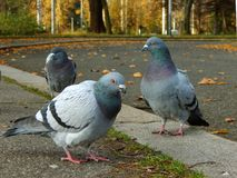 Bunch of pigeons Royalty Free Stock Photos