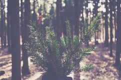 Bunch of pine tree branches in fall coniferous forest. Armful of pine tree branches in autumn coniferous wood Stock Images