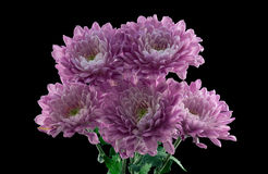 Bunch of Pink Chrysanthemums Stock Image