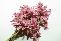 Bunch of pink chrysanthemums Royalty Free Stock Image