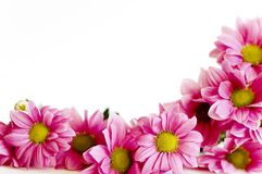 Bunch of pink daisy. Pink flowers frame on white Royalty Free Stock Images