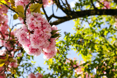 Bunch of pink flowers on a tree branch. Is shown against a blue sky Royalty Free Stock Photo
