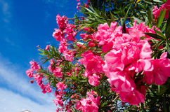 Bunch of pink flowers on the tree at Maldives Royalty Free Stock Photography