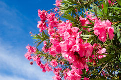 Bunch of pink flowers on the tree at Maldives Stock Image