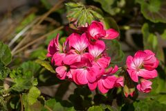 Bunch of Pink Geraniums. A bunch of pink Geranium flowers surrounded by green foliage Stock Photos