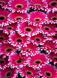 Bunch of the pink gerberas with white edges. On display of flower market in Amsterdam Royalty Free Stock Image