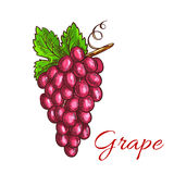 Bunch of pink grape fruit sketch for drinks design Stock Photography