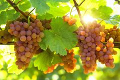 Bunch of pink grapes. On the vine stock image