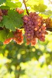 Bunch of pink grapes. On the vine royalty free stock images