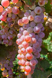 Bunch of pink grapes Royalty Free Stock Photos