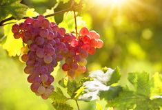 Bunch of pink grapes. On the vine royalty free stock photos