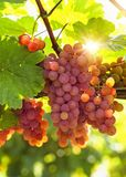 Bunch of pink grapes. On the vine stock images