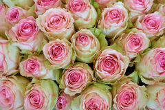 Bunch of pink and green roses Stock Photos