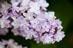 Bunch of pink lilac flower Stock Images