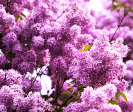 Bunch of pink lilac flower Stock Image