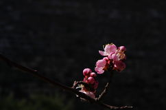 A bunch of pink mountain peach flower Stock Image