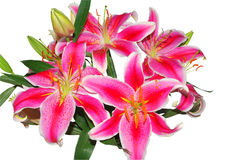 Bunch of pink oriental lilies on white stock images