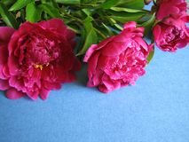 Bunch of pink peony flowers Royalty Free Stock Images