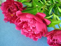Bunch of pink peony flowers Royalty Free Stock Image