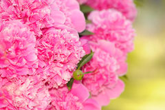 Bunch of Pink Peony Flowers Stock Photography