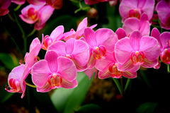 Bunch of pink phalaenopsis orchids Stock Photos