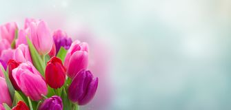 Bouquet of  pink and purple  tulip flowers. Bunch of pink and purple tulip flowers banner Royalty Free Stock Image
