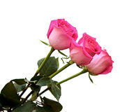 Bunch of pink roses Stock Photography